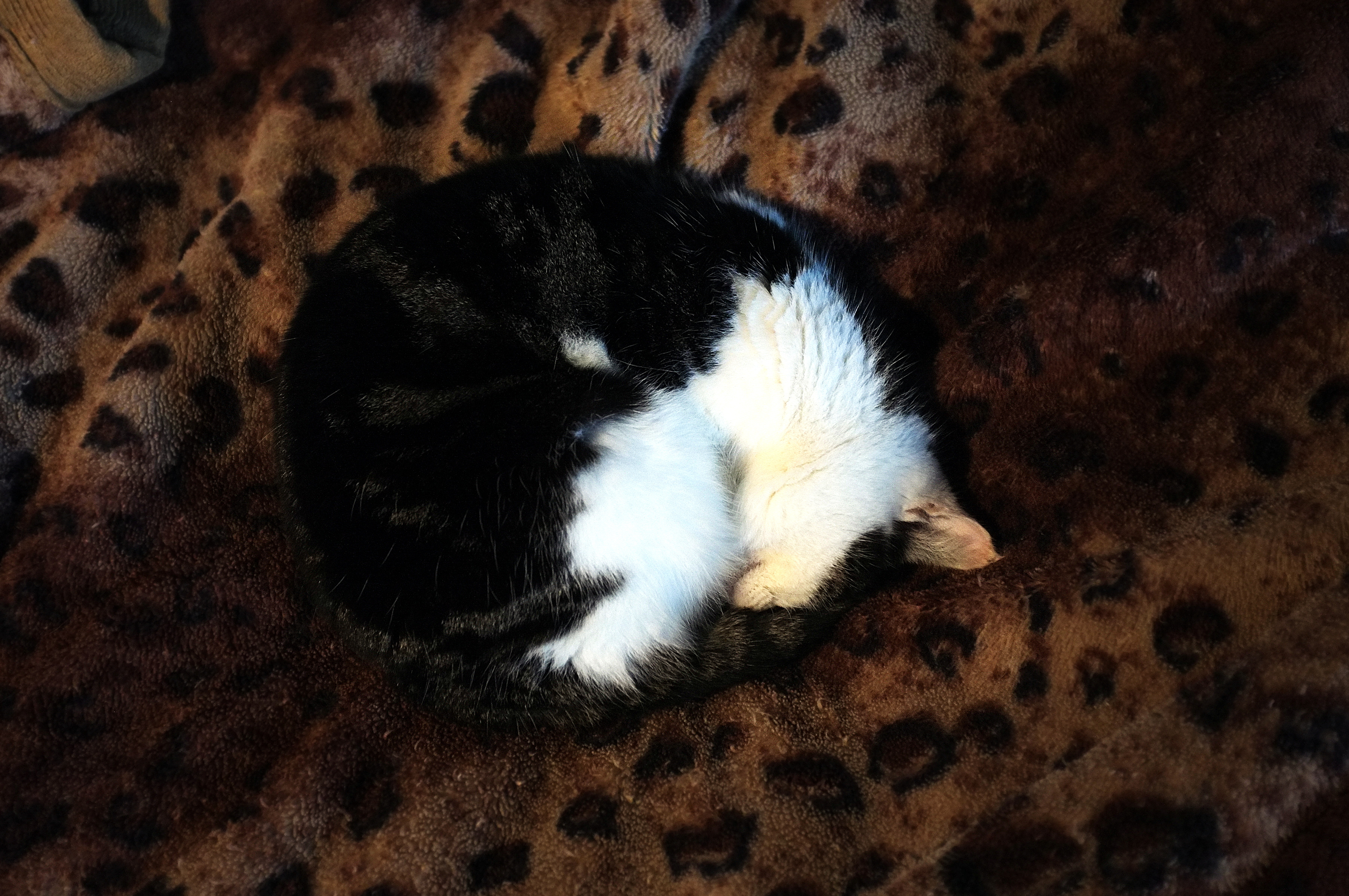 """""""My"""" cat, being almost totally circular."""